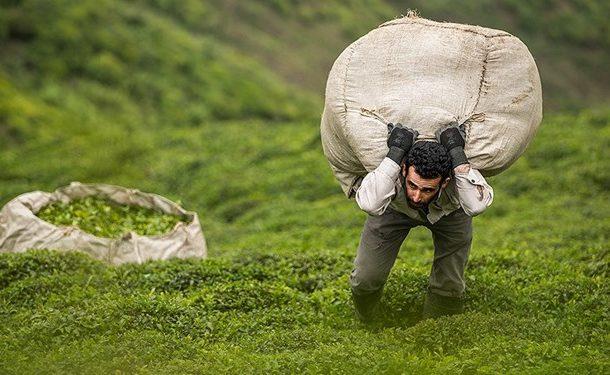 افزایش ۴۱ درصدی قیمت چای در کشور