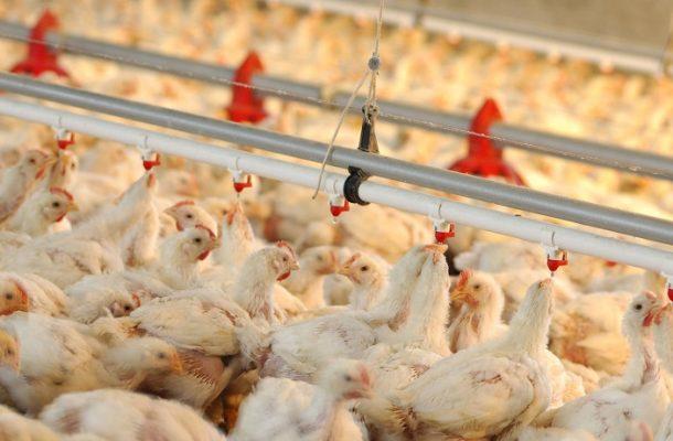 اقدام عجیب وزارت کشاورزی در راستای گرانی مرغ