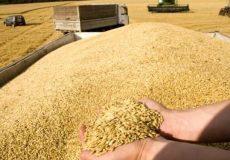 خرید ۸ میلیون و ۲۱۵ هزار تن گندم در کشور